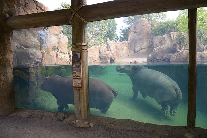 Cincinnati Zoo Hippo Cove with two hippos swimming