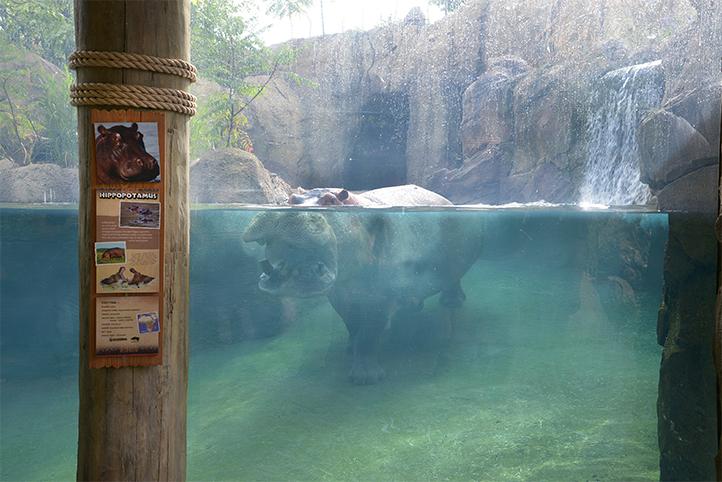 Cincinnati Zoo Hippo Cove with one hippo swimming