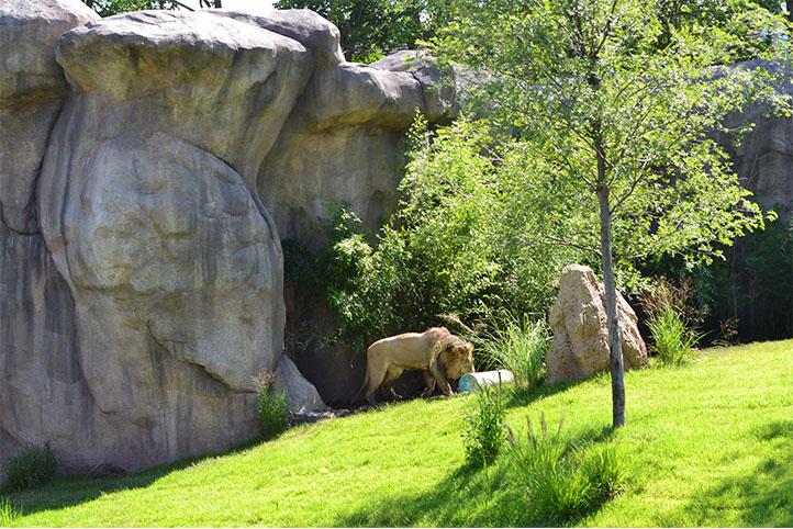 Cincinnati Zoo African Safari lion exhibit