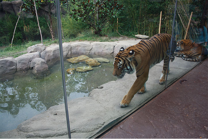 Cincinnati Zoo tiger exhibit