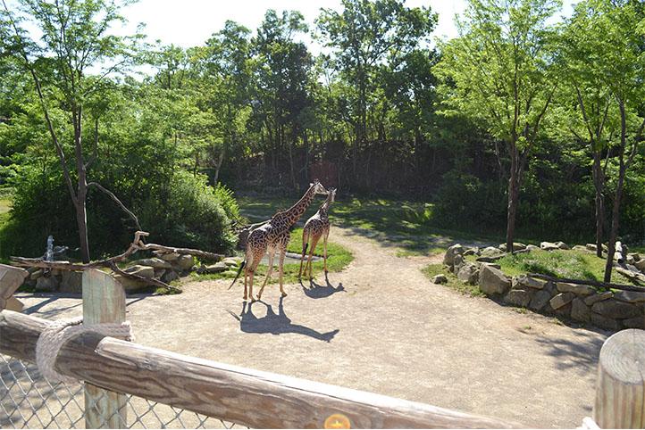 Cincinnati Zoo & Botanical Garden Giraffe Ridge