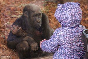 Renovations On The Cincinnati Zoo S Gorilla World Are