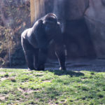 A large male gorilla walks across a grassy section of his zoological habitat. Shrubbery and rock walls can be seen in the background.