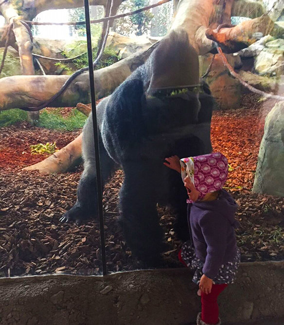 A very large male gorilla sits and looks out of the glass of his zoological habitat, gazing at a small child. The child is in fuschia leggings, a purple patterned skirt, a purple hooded sweatshirt, and a pink patterned bonnet. She is looking to the left of the camera with an expression of great surprise.