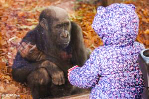 A gorilla sits and looks out of the glass of his zoological habitat, gazing at a small child in a purple floral-patterned coat with the hood up.